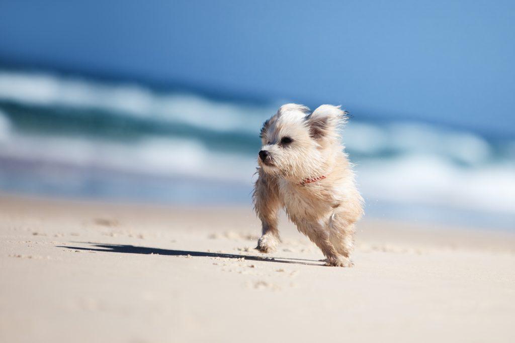 Hond op Ameland